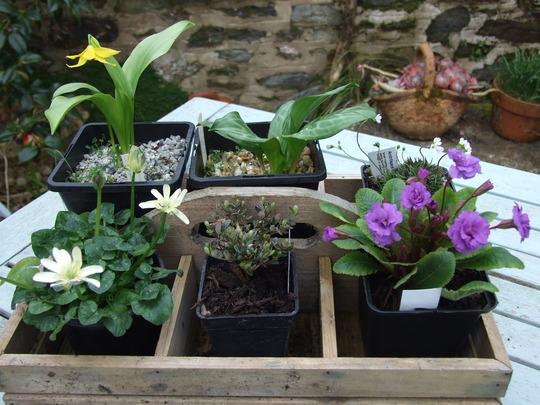 Tray of Plants - Erythonium spindlestone - Erythonium Jeanette Brickell - Androsace carnea subs.brigantiaca - Primula Our Pat - Myrtus candolei - Ranunuculus ficaria Randall's white -