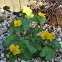 Caltha palustris (Kingcup)