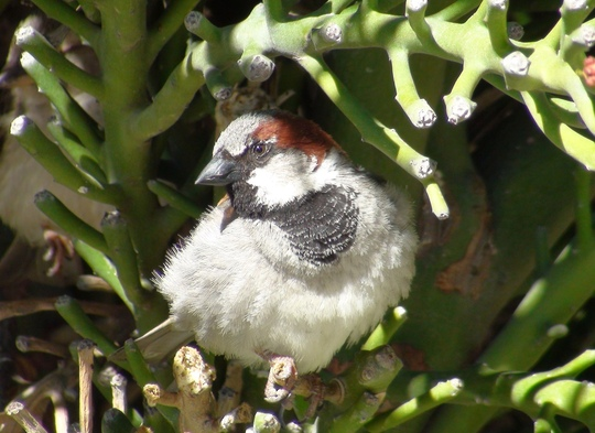 Male House Sparrow - Passer domesticus