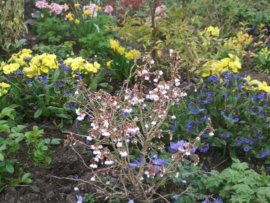 Spring garden. (Prunus incisa)