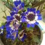Cineraria (Senecio cruentus/Cineraria hybrida)