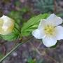 Kerria_japonica_albescens_2014