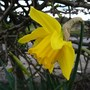 Precious flower....not planted by me! (Narcissus)