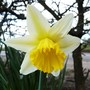 This one is very pretty indeed! (Narcissus)