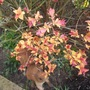 "A close up of the leaves on the Spirea ""Gold Flame"""
