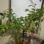 Prunus salicifolia - Capulin Cherry (Prunus salicifolia - Capulin Cherry)
