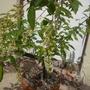 Prunus salicifolia - Capulin Cherry Flowers (Prunus salicifolia - Capulin Cherry)