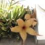Stapelia flowers again