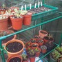 Seedlings and cuttings in my new little green house.