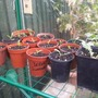 Cosmos seedlings doing well !