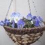 These are trailing ( hopefully ) pansies which I put in this basket in the Autumn last year !