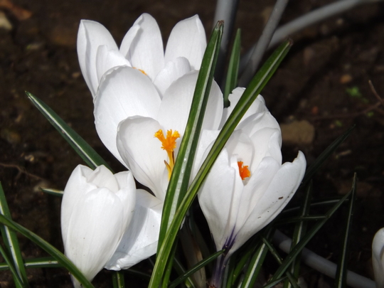 Crocus vernus Jeanne D'arc (Crocus vernus)
