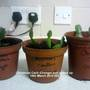 Christmas_cacti_orange_just_potted_up_19_03_2014_002