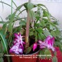 Christmas Cactus flowering on livingroom table 09-02-2014 (Schlumbergera truncata)