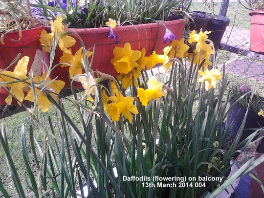Daffodils flowering on balcony 13-03-2014 004 (Daffodil)