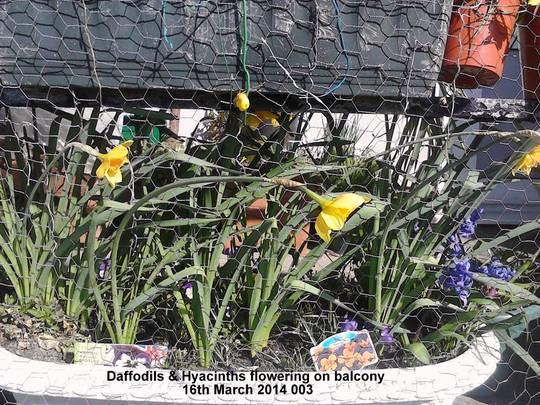 Daffodils & Hyacinths flowering on balcony 16-03-2014 003 (Daffodil)