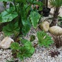 Gunnera away now........ (Gunnera manicata)