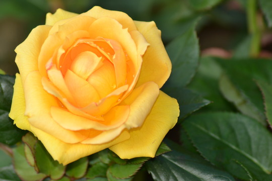 A rose for Mum