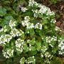 March_20th_2014_pachyphragma