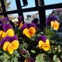 Cute little flowers (Viola)
