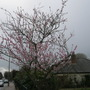 Almond Tree near my house