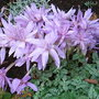 Colchicum autumnale (Colchicum autumnale)