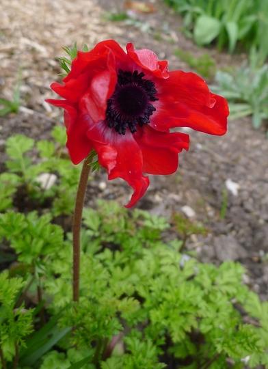 Anemone coronaria 'Hollandia' - 2014 (Anemone coronaria)
