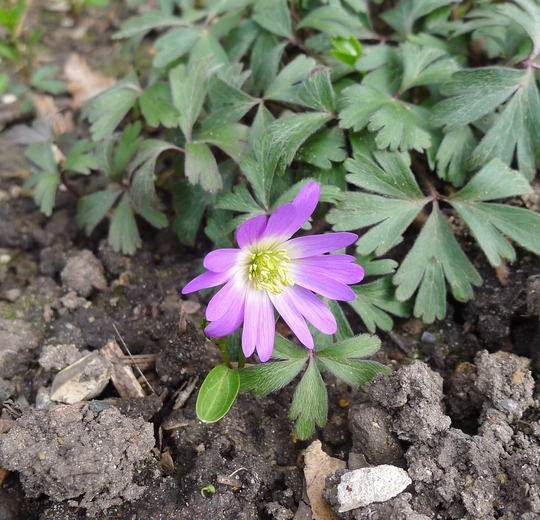 Anemone blanda (pink form) - 2014 (Anemone blanda)