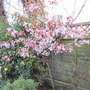 Prunus (prunus cerasifera nigra)