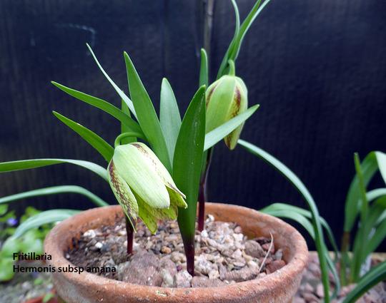 Fritillaria hermonis subsp amana