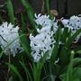 White Hyacinths... (Hyacinthus orientalis (Hyacinth))
