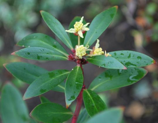 Drimys Lanceolata... (Drimys lanceolata)