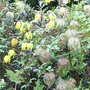 Clematis tangutica 'Helios' (Clematis tangutica)
