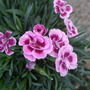 Dianthus_pink_kisses_