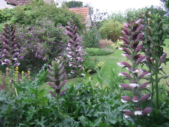 Through the Acanthus (Acanthus spinosus (Bear's breeches))