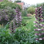 Acanthus spinosus (Bear's breeches)