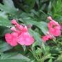 Salvia_greggii_rosea_2