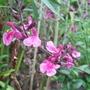 Salvia_icing_sugar_
