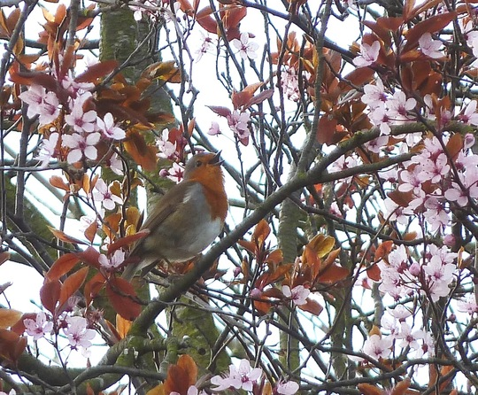 ♪♫♪   Bird song amid the blossom  ♫♩♪
