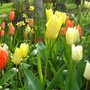 More mixed tulips