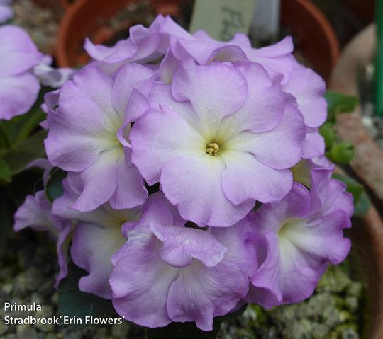 Primula Hybrid. Stradbrook 'Erin Flowers'