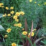 _maori_queen_amongst_the_coreopsis