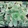 Aeonium ciliatum (Aeonium ciliatum)