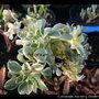 Aeonium domesticum (Aeonium domesticum)