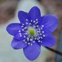 Hepatica transsilvanica Blue Jewel... (Hepatica transsilvanica Blue Jewel.)