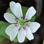 Hepatica nobilis japonica Forest Hybrid White.. (Hepatica nobilis Japonica. Forest Hybrid White..)