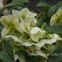 Helleborus x sternii White Beauty (Helleborus x sternii (Hellebore))
