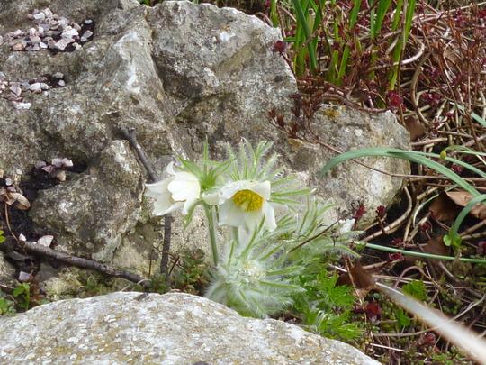 Pasque flower (Pulsatilla vulgaris alba)