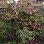 Camellia_bush_pink_2014
