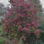 Camellia_bush_red_2014